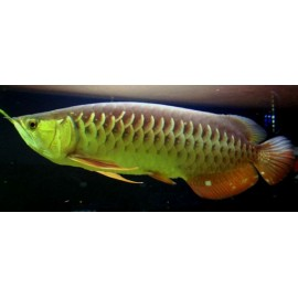 scleropages formosus red tail gold