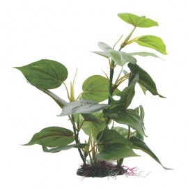 Anubias barteri striped (Easy 6) (PN: P102)