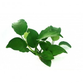 Anubias bateri broad leaf (Medium 6) (PN: P101)