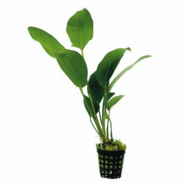 Anubias hastifolia (Easy 7) (PN: P118)