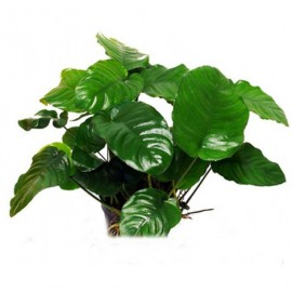 Anubias barteri striped (Easy 6+) (PN: P103)