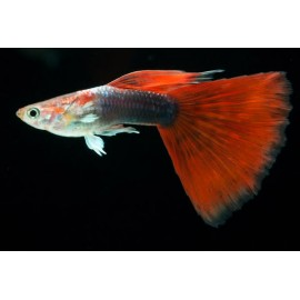 poecilia ret. male golden head red tail
