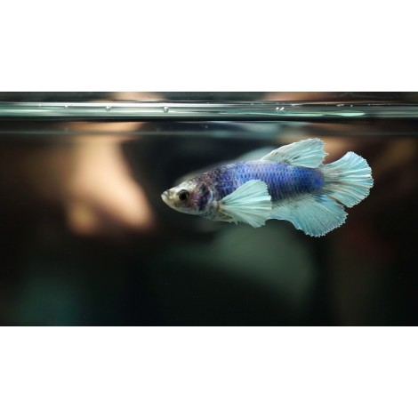 Betta spl. female (DUMBO) big ears