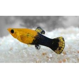 poecilia sphenops gold black molly