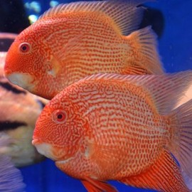 (LA COPPIA) Heros severum RED SPOT super 15/18 cm