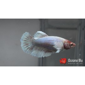 Betta spl. female SuperDelta big ears M