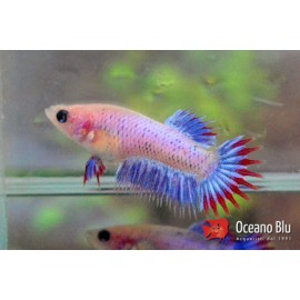 Betta spl. female crowntail mix 3-4 cm