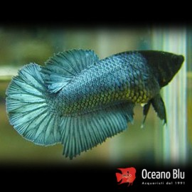 Betta spl. female halfmoon mix XL