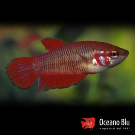 Betta spl. female mix XL