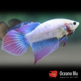 Betta spl. female super delta tail XL