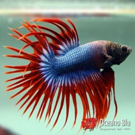 Betta spl. male crowntail mix XL