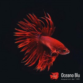 Betta spl. male crowntail red XL