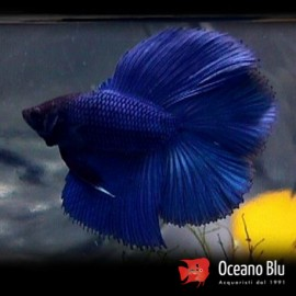 Betta spl. male double tail blue XL