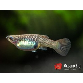 Poecilia endler red rainbow female 1.5 - 2.5 cm