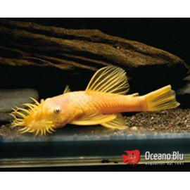Ancistrus lemon l 144 3 - 4 cm