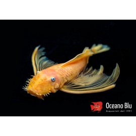 Ancistrus lemon long fin l144 blue eye 5-6 cm