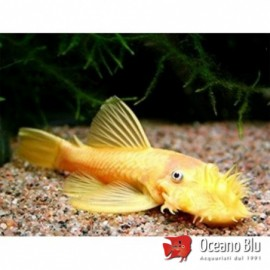 Ancistrus sp. gold 3 - 4 cm