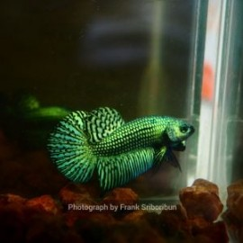 Betta smaragdina ALIEN GREEN COPPIA