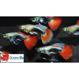 Guppy super metal tuxedo rouge COPPIA
